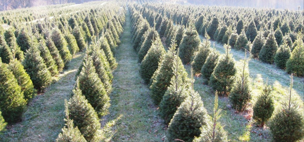 how do christmas trees grow - How Long Does A Christmas Tree Take To Grow