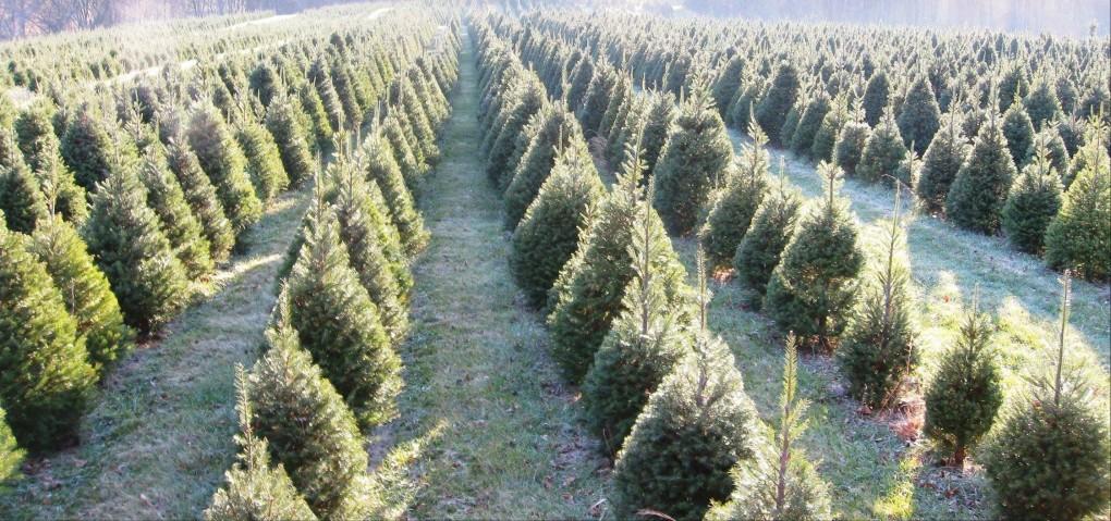 - How Do Christmas Trees Grow?